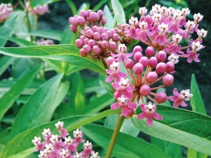 Butterfly friendly swamp milkweed